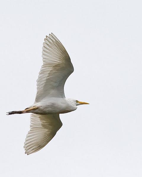 Great (White) Egret