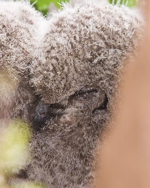 Cape Eagle-owl chicks
