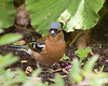 Common Chaffinch m