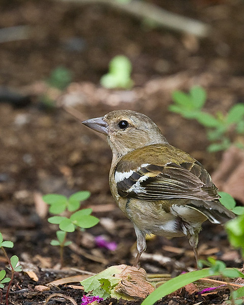 Common Chaffinch (F)