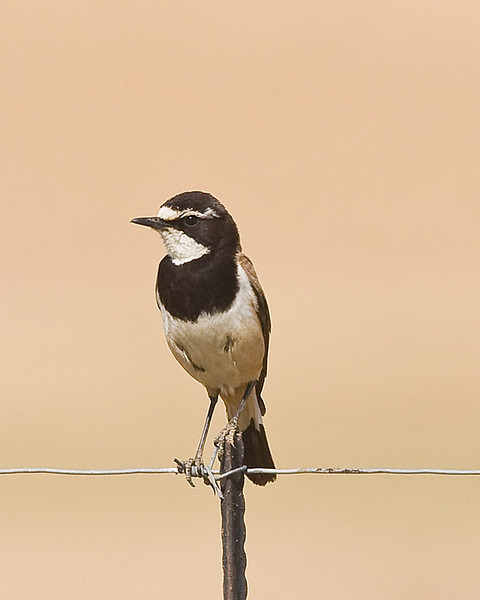 Capped Wheatear - dangerous bird.  It can change your life.