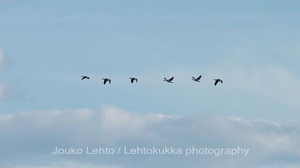 OLYMPUS DIGITAL CAMERA, Merihanhet (Anser anser) - Greylag Goose