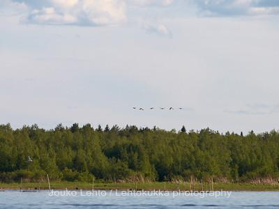 Perämeri - The Gulf of Bothnia, Merihanhet (Anser anser) - Greylag Goose