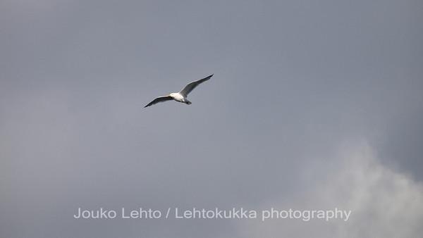 Harmaalokki (Larus argentatus) - European Herring Gull