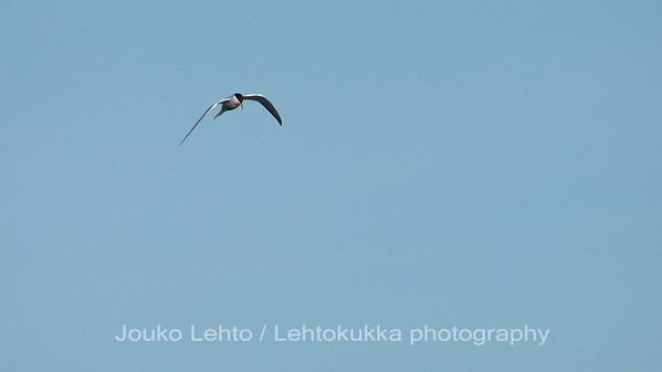Kalatiira (Sterna hirundo) - Common Tern