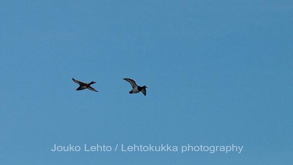 Tukkasotkat (Aythya fuligula) - Tufted Duck