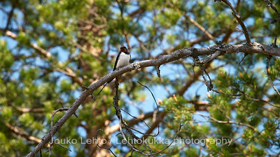 Haarapääsky (Hirundo rustica) - Barn Swallow