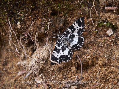 Vasamamittari (Rheumaptera subhastata)  - White-banded Black Moth