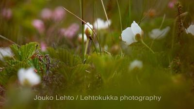 Hilla (Rubus chamaemorus) - Cloudberry