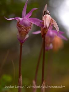 Neidonkenkä (Calypso bulbosa) - Calypso orchid