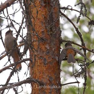 Kuukkeli (Perisoreus infaustus) - Siberian Jay