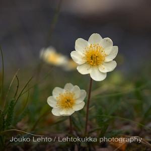 Lapinvuokko (Dryas octopetala) - White dryas