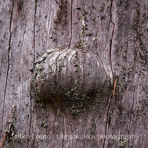 Kelo. Oulanka. dead, but still standing old pine at Oulanka.