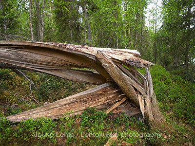 Kaatunut kuusi - Fallen spruce