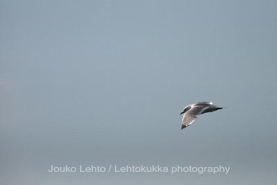 Kalalokki (Larus canus) - Common Gull. Tammisaaren saariston kansallispuisto - Tammisaari Archipelago National Park