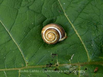 Valkohuulitarhakotilo (Cepaea hortensis) - White-lipped snail. Raaseporin linna - Raasepori Castle