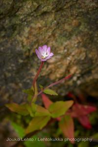 Mäkihorsma (Epilobium collinum) - Hill Willowherb.  Raaseporin linna - Raasepori Castle