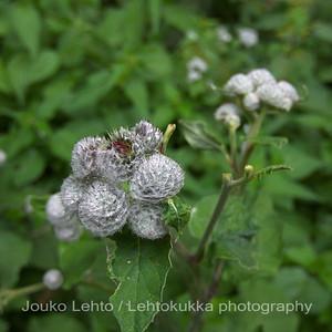 Seittitakiainen (Arctium tomentosum) - Downy burdock