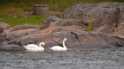 Kyhmyjoutsen (Cygnus olor) - Mute Swan.Tammisaaren saariston kansallispuisto - Tammisaari Archipelago National Park