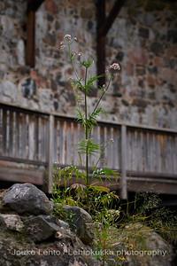 Rohtovirmajuuri (Valeriana officinalis) - Valerian