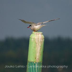 Kalatiira (Sterna hirundo) - Common Tern. Tammisaaren saariston kansallispuisto - Tammisaari Archipelago National Park