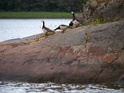 Valkoposkihanhet (Branta leucopsis) - Barnacle Goose. Tammisaaren saariston kansallispuisto - Tammisaari Archipelago National Park