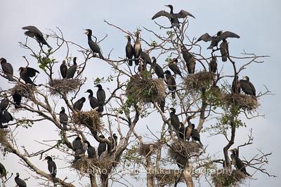 Merimetso (Phalacrocorax carbo) - Great Cormorant. Tammisaaren saariston kansallispuisto - Tammisaari Archipelago National Park