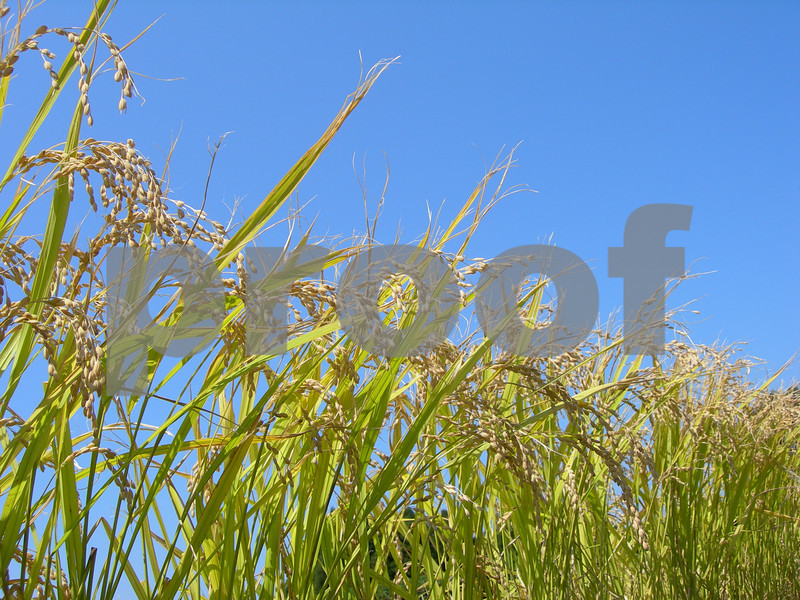 This is what rice looks like when it is ready for harvesting. Somewhere in Japan.