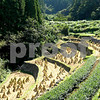 Rice fields drying out for harvesting. Japan