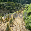 I love how the rice is bundled for drying. Japan
