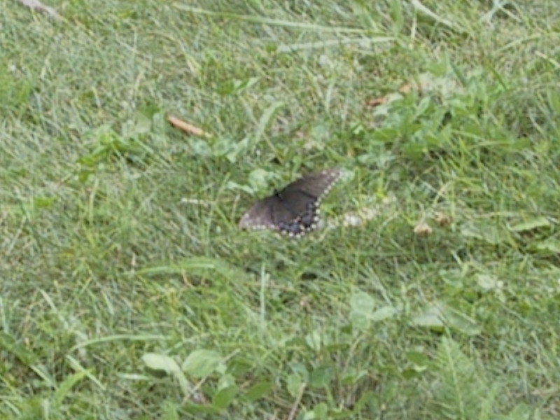 Butterfly at the Southwold Earthworks site.