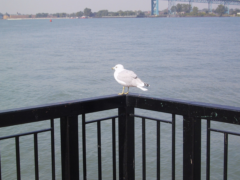 """Closer view of the gull (I believe a <a href=""""http://www.mbr-pwrc.usgs.gov/Infocenter/i0540id.html"""">ring-billed gull</a>), at Centennial Park in Windsor, overlooking the Detroit River, which flows from Lake St. Clair into Lake Erie."""