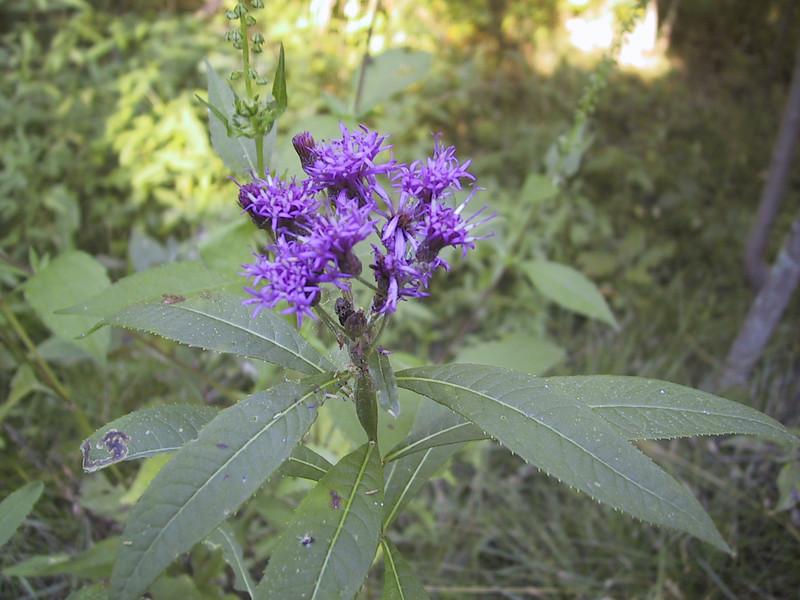 Flower in Sheldon Marsh State Nature Preserve.