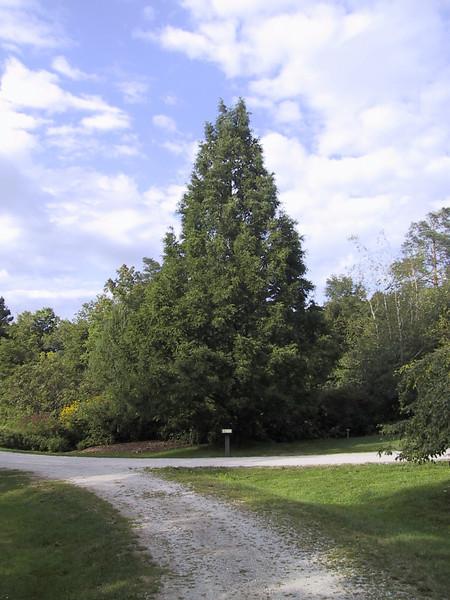 Dawn Redwood at Holden Arboretum.