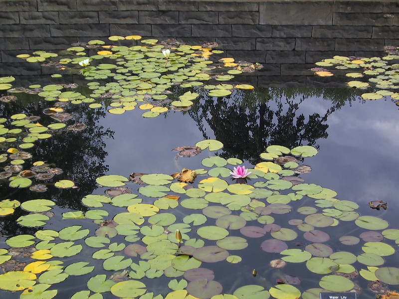 Water lillies in a pond in the display gardens.