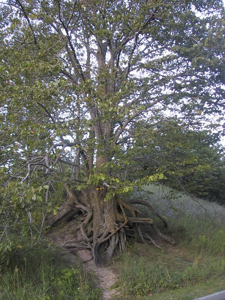 The natural movement of the dunes due to erosion have exposed the roots of this tree.