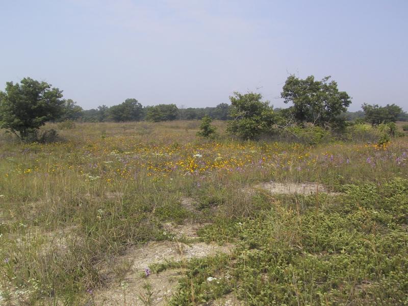 Wildflowers in Illinois Beach State Park.
