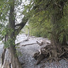 "Trees with gnarled roots growing along the beach at <a href=""http://www.nysparks.com/parks/43/details.aspx"">Chimney Bluffs State Park</a>"