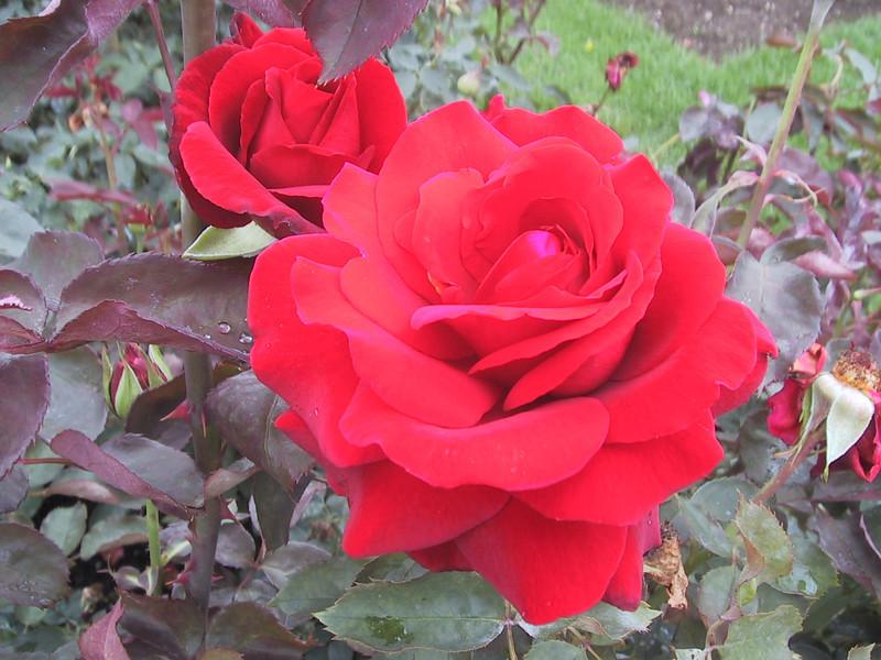 Rose in the Royal Botanical Gardens