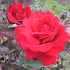 Rose in the Royal Botanical Gardens