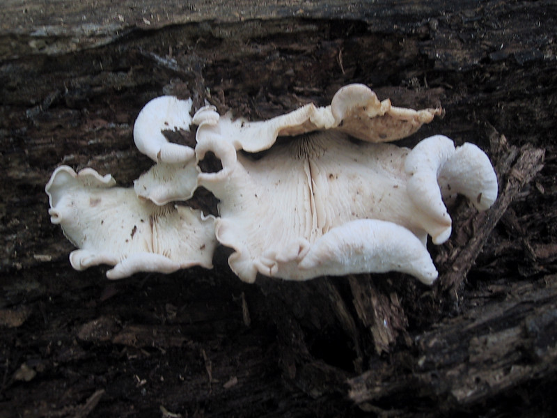 Another large fungus in Presqu'ile Provincial Park
