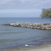 Swans, gull at Hamlin Beach State Park