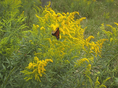 Butterfly among the wildflowers at Fair Haven Beach State Park