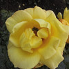 Yellow rose in the Royal Botanical Gardens. See the bees inside?