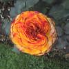 Variegated carnation in the Royal Botanical Gardens
