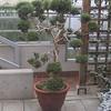 Large bonsai at the Royal Botanical Gardens
