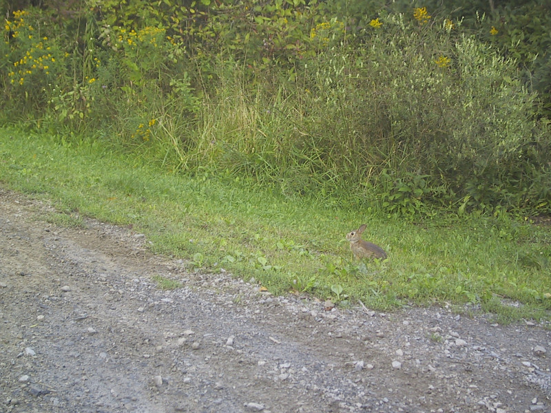 """Rabbit in <a href=""""http://nysparks.state.ny.us/parks/69/details.aspx"""">Wilson-Tuscarora State Park</a>, where I returned to complete the journey around Lake Ontario."""