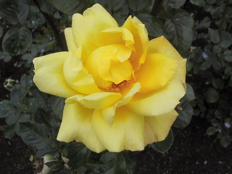 Yellow rose in the Royal Botanical Gardens