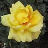 Yellow rose in the Royal Botanical Gardens