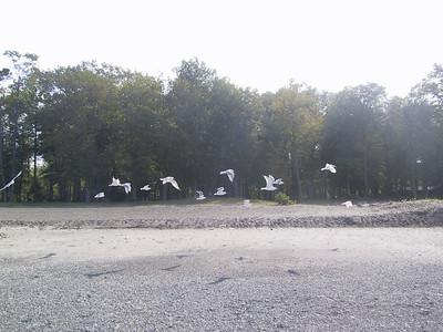 Gulls at Hamlin Beach State Park